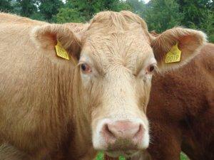 cowsssss